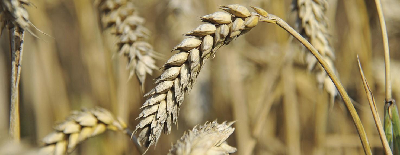 """Predigt zu Johannes 12,20-26 """"Die Logik des Weizenkorns"""" von Thomas Steinbacher"""